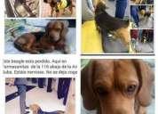 Perro perdido beagle criollo cafe negro