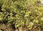 Se vende finca de 800 arboles citricos, contactarse.