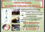 Cerdos inseminación y venta de semen porcino