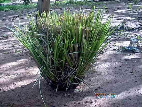 semilla - haz - macolla - plantaciones madres vetiver colombia - asesoria