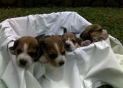 Gangazos cachorros beagle tricolor