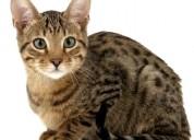 Catracion de gatos $130.000