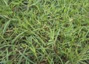 Semilla grama pasto bermuda colombia