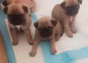 Cachorros pug chunky sanos hermosos