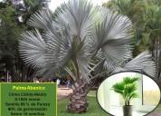 Semillas de palmas decorativas diferentes especies