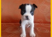 Boston terrier bebes