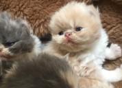 Raza de gatos persa hermosos y garantizados