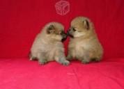 Cachorros pomerania en venta y garantizados