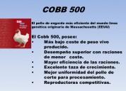 Pollos blancos gigantes: cobb 500