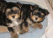 Tierna raza yorkie miniatura hermosos cachorros