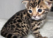 Disponibles gatos bengali medellín machos
