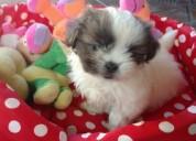 Raza Única hermosa shitzu mini cachorros