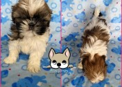 Cachorra shih tzu miniatura whatsapp 3054688674