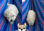 Cachorra french poodle minitoy whatsapp 3054688674