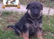 Cachorros pastor aleman, garantia en raza y salud