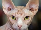 En venta garantizamos gatos sphynx