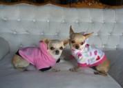 cachorros disponibles chihuahua garantizados