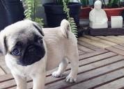 Raza en venta pug cachorros enanos