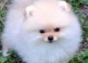 Cachorros los mejores pomerania en venta
