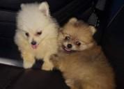 Cachorros mini pomerania garantizados
