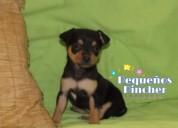 La mejor y linda raza mini pincher cachorros