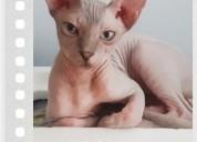 Machos garantizados gatos sphynx