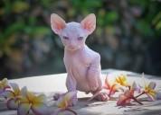 Una hermosa raza en venta gatos sphynx