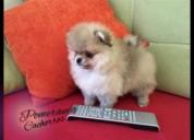 Un hermoso cachorro pomerania mini
