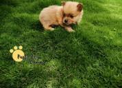 Cachorros machos pomerania mini buen precio