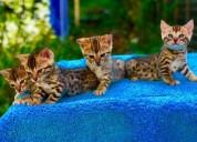 Hermosa raza gatos bengali en venta