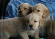 Golden retriver excelentes cachorros