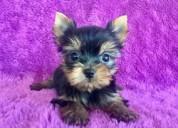 Cachorros Únicos yorkie miniatura