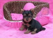 Hermosa raza yorkie miniatura cachorros