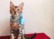 Hermosos y garantizados machos y hembras gatos ben