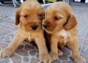 Excelentes perritos cocker spaniel garantizados