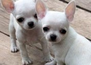 Gangazos mini cachorros chihuahua