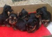 Tenemos yorkie miniatura cachorros tiernos