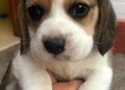 Beagle cachorros enanos garantizados