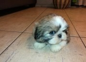 Excelentes cachorros raza shitzu miniatura