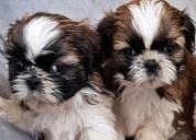 Enamorate de una raza cachorros shitzu