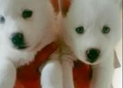 Lindos excelentes lobo siberiano cachorros