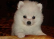 Disponibles pomerania mini excelentes