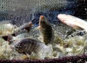 Proyectos piscicolas, producción de trucha