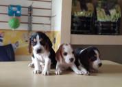 En perfectas condiciones beagle y aptos para en