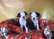 Juguetones cachorros boston terrier