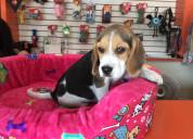 Juguetones cachorros beagle
