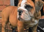En busca de un amigo perfecto bulldog ingles