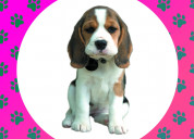 Juguetones beagle disponibles