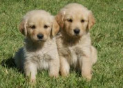 Amables y juguetones golden retriever