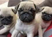 Juguetones pug disponibles